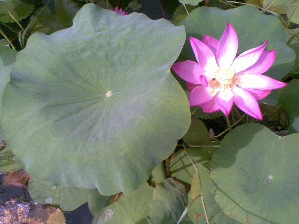 Foto Bunga Teratai Water Lily Pictures (2/6)