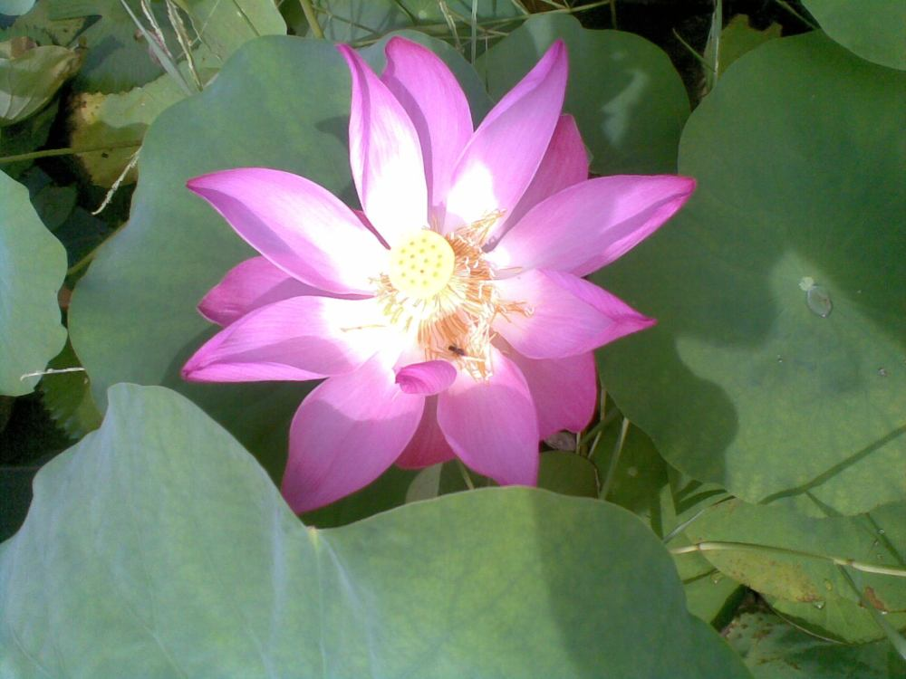 Foto Bunga Teratai Water Lily Pictures (3/6)