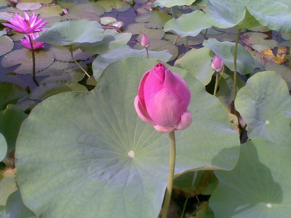 Foto Bunga Teratai Water Lily Pictures (5/6)