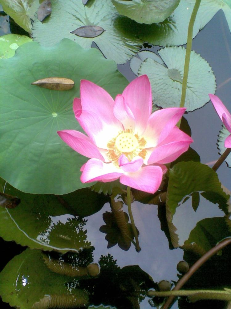 Foto Bunga Teratai Water Lily Pictures (6/6)