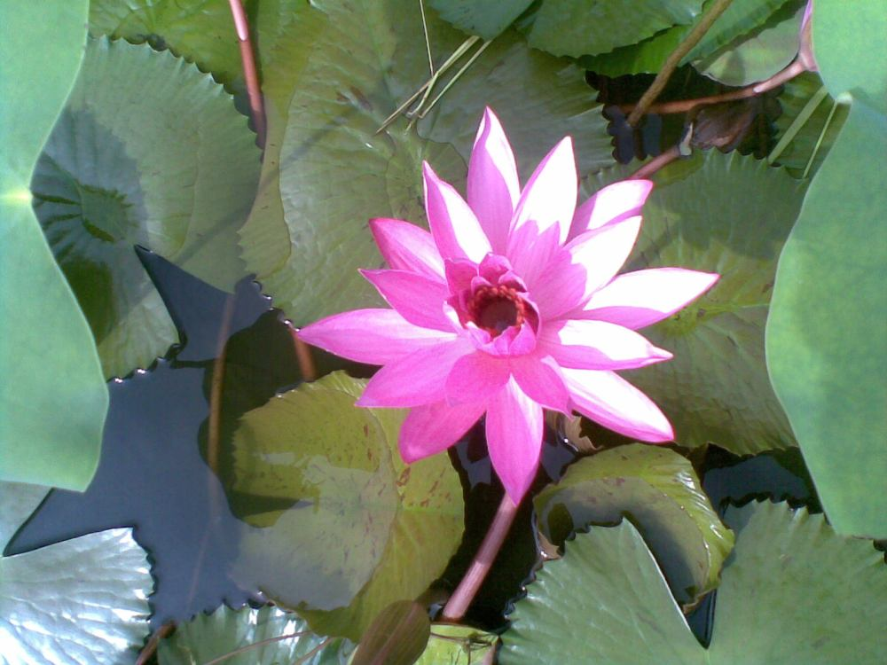 Foto Bunga Teratai Water Lily Pictures (1/6)