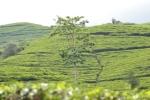 Kebun Teh Subang