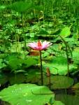 Kolam Bunga Teratai